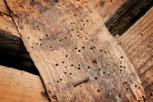 Wij moeten houtworm bestrijden